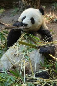 dampf-panda